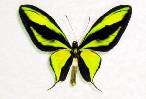 ornithopteraparadisea